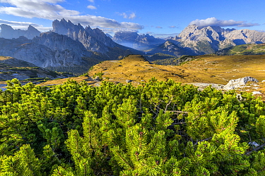 Mountain Pine (Pinus mugo) trees with a view of Cadini de Sisurina and Mount Cristallo from the foot of TreCime of Lavared, Tre Cime Natural Park, Dolomites, Tyrol, Italy, UNESCO World Heritage Site