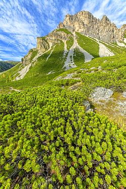 Mountain Pine (Pinus mugo) trees in subalpine Val de de Fanes, Fanes-Sennes-Braies Nature Park, Dolomites, Tyrol, Italy, UNESCO World Heritage Site