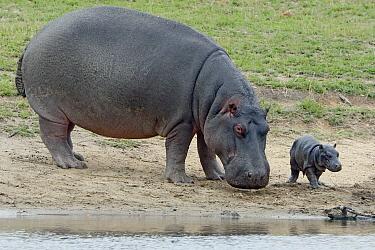 Hippopotamus (Hippopotamus amphibius) mother and newborn calf, Kruger National Park, South Africa