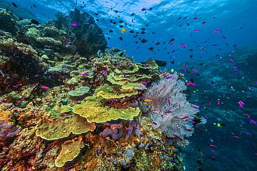 Disc Coral (Turbinaria reniformis) and Yellowstripe Anthias (Pseudanthias tuka) school, Normanby Island, Papua New Guinea