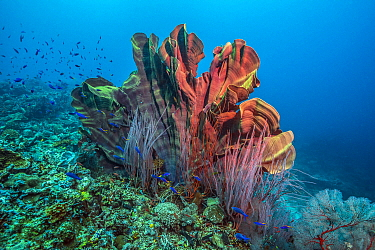 Elephant Ear Sponge (Ianthella basta), Soft Coral (Ellisella ceratophyta), and Yellow and Blueback Fusiliers (Caesio teres), Kimbe Bay, Papua New Guinea