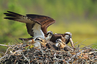 Osprey (Pandion haliaetus) parents in nest bring fish to chicks, Europe