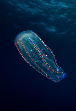 Ctenophore, Galapagos Islands, Ecuador