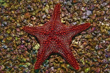 Cortez Starfish (Pentaceraster cumingi) and barnacles, Roca Redonda, Galapagos Islands, Ecuador