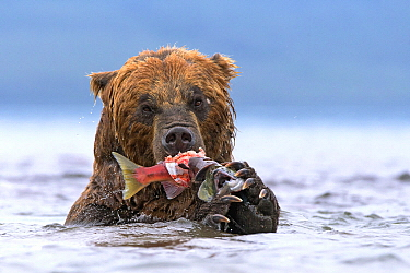 Brown Bear (Ursus arctos) feeding on Sockeye Salmon (Oncorhynchus nerka) prey, Kamchatka, Russia