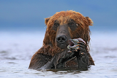 Brown Bear (Ursus arctos) with Sockeye Salmon (Oncorhynchus nerka) prey, Kamchatka, Russia