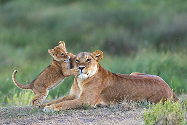 African Lion (Panthera leo) cub playing with mother, Ngorongoro Conservation Area, Serengeti ecosystem, Tanzania