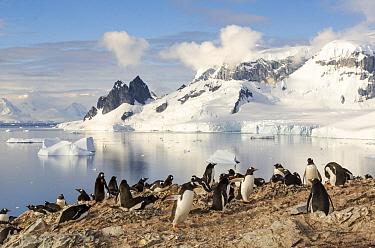 Gentoo Penguin (Pygoscelis papua) colony, Danco Island, Antarctica