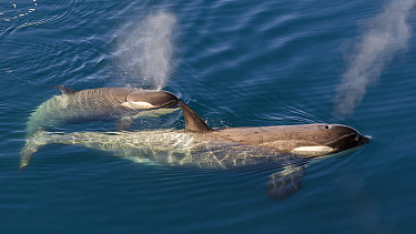 Orca (Orcinus orca) mother and calf surfacing, Antarctica
