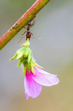 Leafcutter Ant (Atta sp) carrying flower, Peru