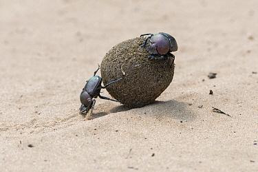 Dung Beetle (Scarabaeus sacer) pair rolling dung, South Africa