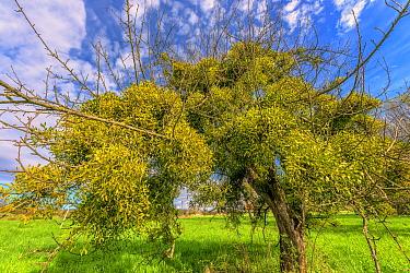 Mistletoe (Viscum album) in on old apple tree, Bugey, Ain, France