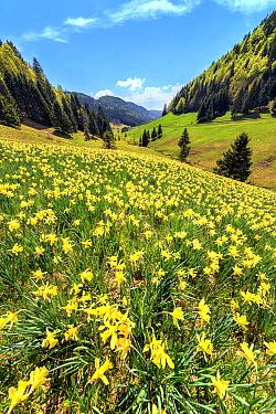 Daffodil (Narcissus pseudonarcissus) flowers in sub-alpine meadow, Jura, France