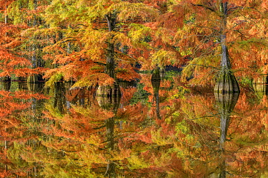 Bald Cypress (Taxodium distichum), introduced species, trees in autumn, Isere, France