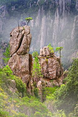 Corsican Pine (Pinus laricio) trees on rock formations, Aiguilles de Bavella, Corsica, France