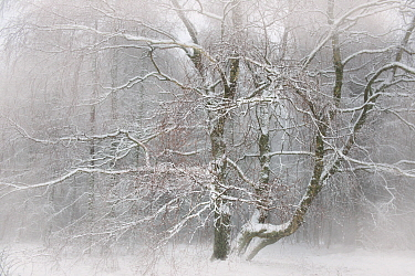 Downy Birch (Betula pubescens) tree in fog, Vosges du Nord National Park, France