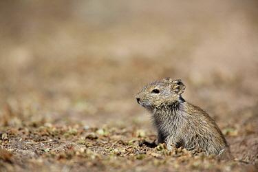 Blick's Grass Rat (Arvicanthis blicki), Ethiopia
