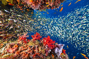 Schooling fish and coral reef, Mayotte, Mozambique Channel