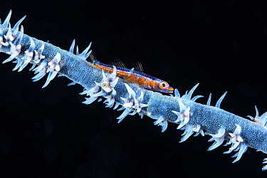 Whip Coral Goby (Bryaninops youngei), 76 meters, Mayotte, Mozambique Channel