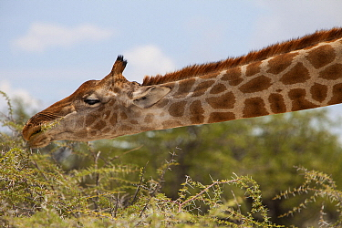 Northern Giraffe (Giraffa camelopardalis) browsing, Etosha National Park, Namibia