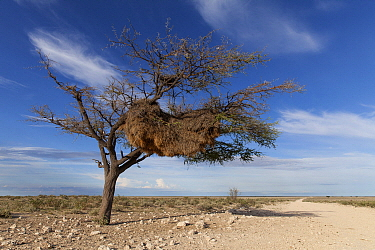 Sociable Weaver (Philetairus socius) nests, Etosha National Park, Namibia