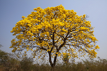 Yellow Ipe (Tabebuia chrysotricha) in bloom, Pantanal, Mato Grosso do Sul, Brazil