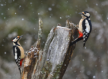 Great Spotted Woodpecker (Dendrocopos major) pair during snowfall, Vosges du Nord National Park, France