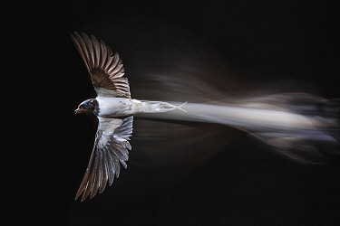Barn Swallow (Hirundo rustica) flying, Salamanca, Castile-Leon, Spain