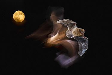Common Pipistrelle (Pipistrellus pipistrellus) flying in front of moon, Spain