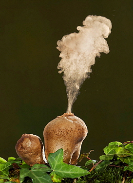 Devil's Snuffbox (Lycoperdon perlatum) expelling spores, Spain