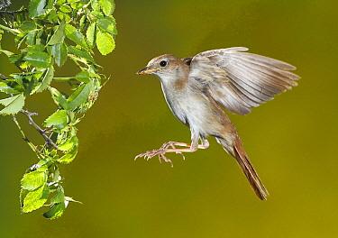 Nightingale (Luscinia megarhynchos) flying, Spain