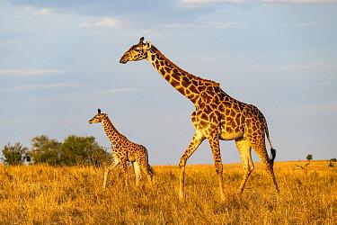 Masai Giraffe (Giraffa tippelskirchi) mother and calf, Masai Mara, Kenya