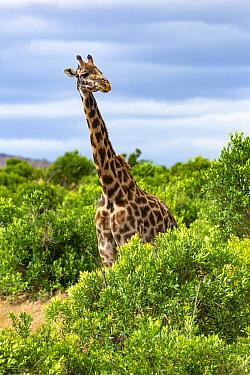 Masai Giraffe (Giraffa tippelskirchi) female, Masai Mara, Kenya