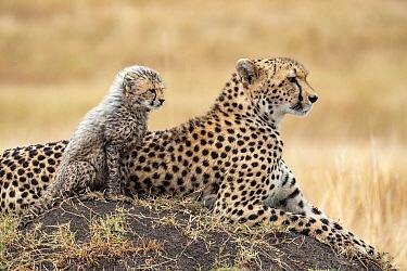 Cheetah (Acinonyx jubatus) mother and cub, Masai Mara, Kenya