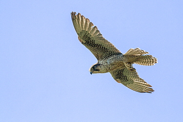 Lanner Falcon (Falco biarmicus) flying, Campania, Italy