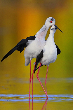 Black-winged Stilt (Himantopus himantopus) pair courting, Campania, Italy