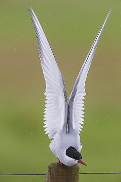 Arctic Tern (Sterna paradisaea) stretching, Iceland