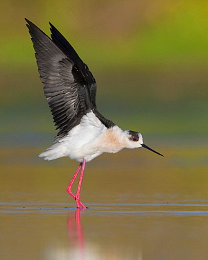 Black-winged Stilt (Himantopus himantopus) stretching, Campania, Italy