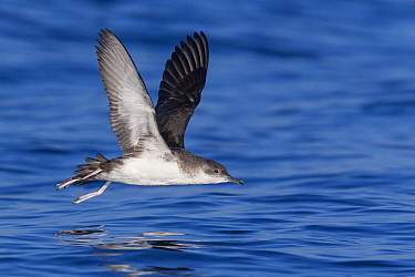 Mediterranean Shearwater (Puffinus yelkouan) flying, Tuscany, Italy