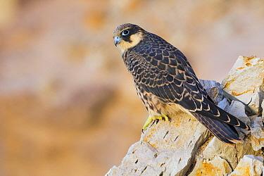 Eleonora's Falcon (Falco eleonorae) juvenile, Sardinia, Italy