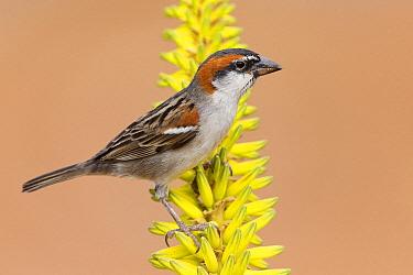 Iago Sparrow (Passer iagoensis) male, Cape Verde Archipelago, Portugal