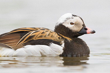 Long-tailed Duck (Clangula hyemalis) male, Iceland
