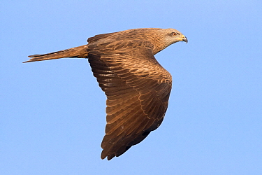 Black Kite (Milvus migrans) flying, Italy