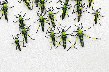 Grasshoppers, Garden Route National Park, South Africa
