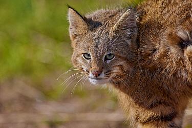Pampas Cat (Leopardus colocolo), La Pampa, Argentina