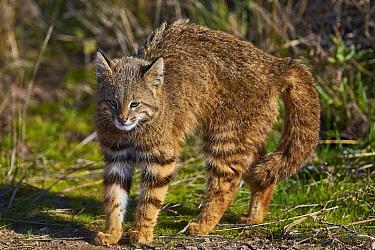 Pampas Cat (Leopardus colocolo) in defensive posture, La Pampa, Argentina
