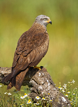 Black Kite (Milvus migrans), Castile-La Mancha, Spain