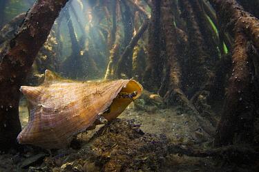 True Conch (Strombidae) in mangrove, Blowing Rocks Preserve, Jupiter Island, Florida