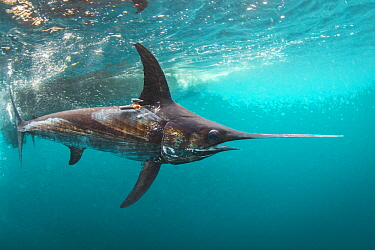 Swordfish (Xiphias gladius) with tags to determine effectiveness of fishing gear, San Diego, California