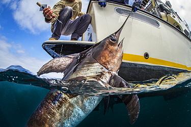 Swordfish (Xiphias gladius) caught by fisherman, San Diego, California